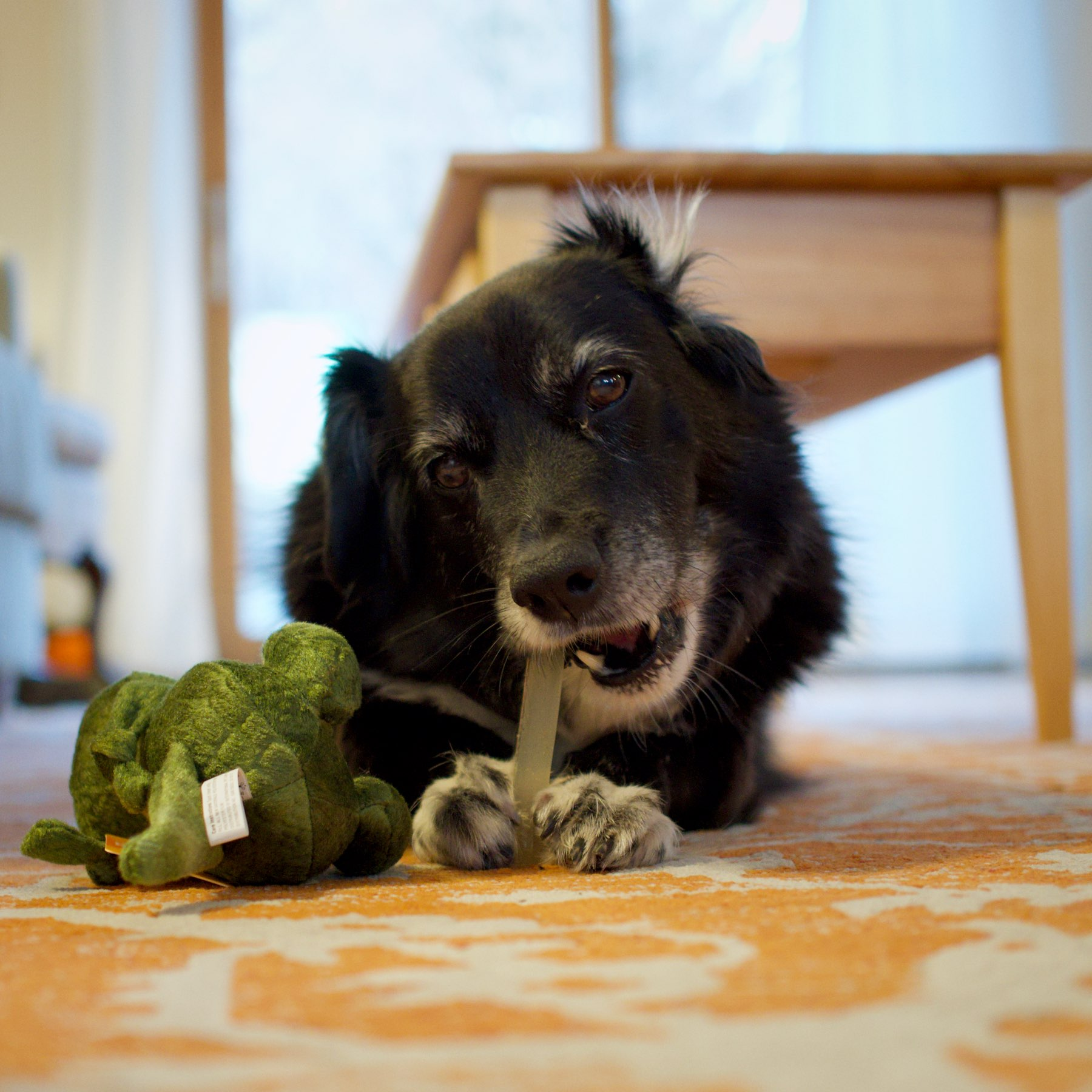 Dog chewing bone with a toy alligator.